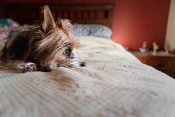 Dog looking away while lying on bed at home