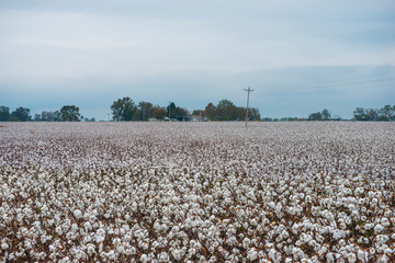 Cotton plants growing on field against sky