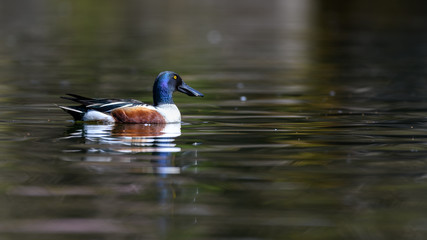 Northern shoveler male portrait