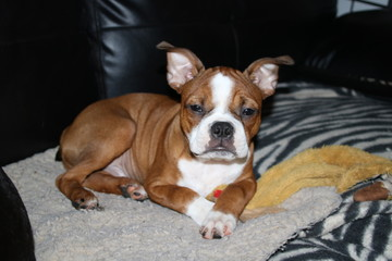 Red Boston Terrier puppy