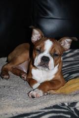 Red Boston Terrier puppy