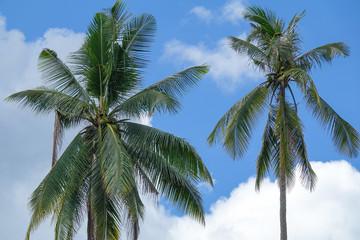 Coconut plam tree on a blue cloudy sky.