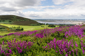 Irish landscape with hills covered by purple heather on a beautiful summer day. Howth scenery in County Dublin, Ireland.