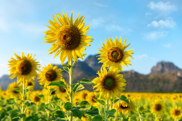 Wall Mural - Natural Landscape Scenery of Sunflowers Blooming in The Field, Beautiful Blossom of Sunflower at Organic Farming Against of Mountain Range Background in Morning Time. Nature Flowers in Summer Season