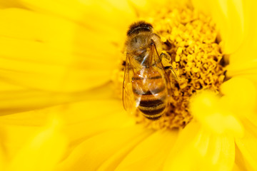Bee collects honey on a yellow flower