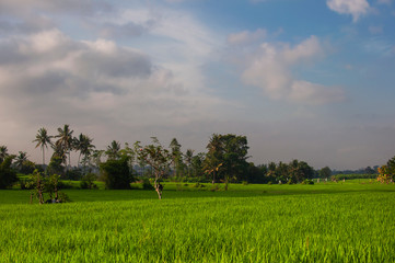 Green young rice field at sunrise. Ubud, Bali, Indonesia. Beautiful green rice fields, natural beautiful tropical background. Texture of growing rice, green grass. Rice farm, paddy.