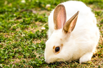 Cute little white rabbit (Oryctolagus cuniculus) sitting on the green grass