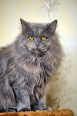 gray fluffy Persian cat
