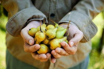 Pears in farmers hands