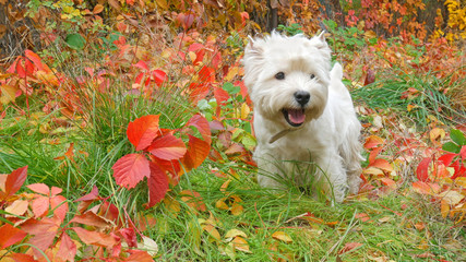 white west dog outdoors in autumn park with yellow leaves around