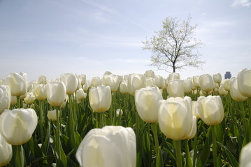 white tulips in spring