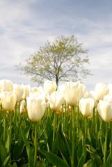 white tulips in spring