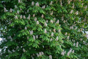 kwitnące drzewo kasztanowca, kasztan, białe kwiaty