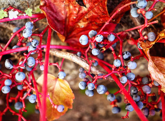 Autumnal view of ivy blue berries and red foliage