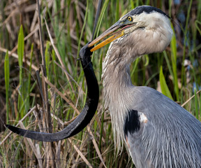 Great Blue Heron with Lamprey
