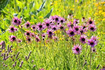 Botanic Garden, purple coneflowers