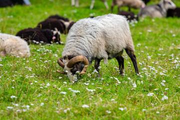 Male sheep grazing grass