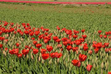 Tulips, Tulpnefeld, Holland