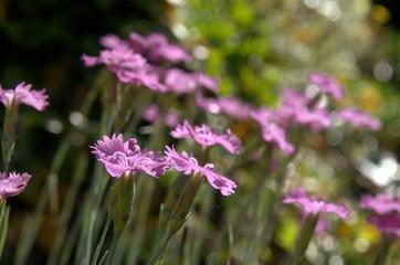 Dianthus alpinus; Alpine Pinks on rocky garden bank, Berschis