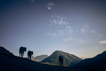 Cows standing in Swiss Alps