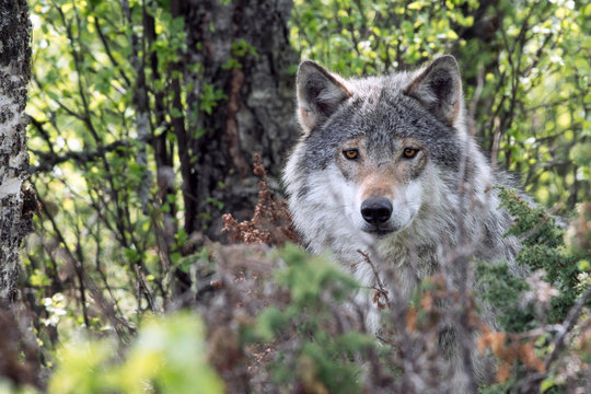 A closeup wildlife portrait of a grey wolf outdoors in the forest.