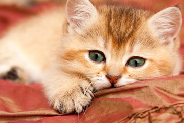 Gentle Golden British kitten resting lying on the bed and looks at the camera with green eyes.