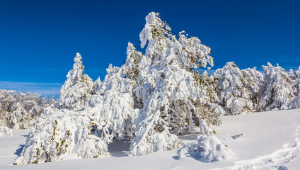 winter fir forest in a snow under a blue sky