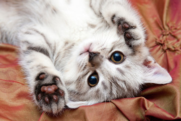 A young gray British cat lies upside down on the bed, lifting his paws up and looking at the camera. Top view close up.