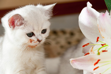 Young little white British cat sitting next to a Lily flower, kitten stained muzzle in flower pollen.