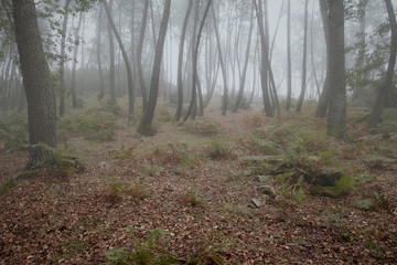 Mysterious foggy woods
