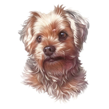 Realistic Portrait of Yorkshire Terrier isolated on white background. Toy Poodle Dog. Cute puppy. Hand drawn illustration. Animal art collection: Dogs. Design template. Good for print T-shirt, pillow