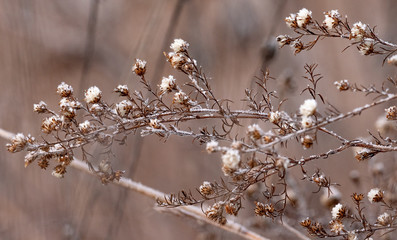 Frost covered dried wild flowers