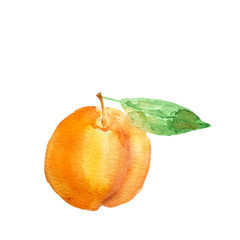 Watercolor hand drawn apricot