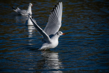 Seagull taking flight from a lake