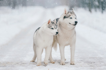 Cute adorable couple of husky puppies on road. Lovely white male dogs family. Amazing beautiful domestic mammal pets together at nature outdoor. Purebred siberian animals leisure relaxing together.