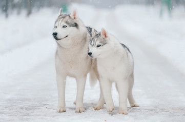 Winter portrait of lovely couple of siberian husky puppies standing on snowy road. Cute breeding male & female white dogs in love. Beautiful domestic funny pet family. Pair of playful animals friends