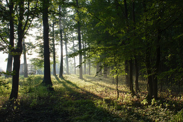 Misty morning in the woods in the summer