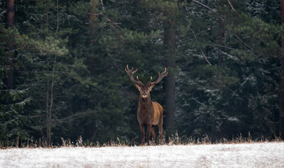 Graceful Deer Stag  ( An Adult Male With Beautiful Horns ) Against The Backdrop Of  Green Winter Pine Forest, With Snow-Covered Foreground. Winter Christmas  Art Shot Of Wildlife With Deer And Forest