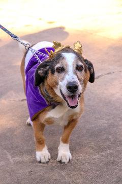 happy beagle dog in mardis gras costume