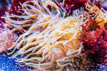 Sea anemone in the aquarium