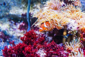 Sea anemone and clown fish in aquarium