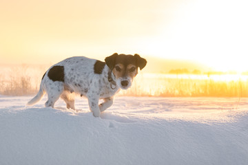 Jack Russell Terrier dog is standing in front of a beautiful colorful sunrise