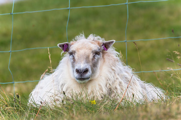 Icelandic sheep sitting in the green grass