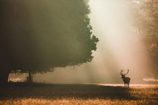 Red deer looking left under a giant oak in the autumn with orange light rays shining behind it