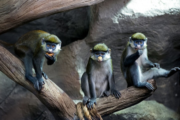 three Redtail  monkeys  (black-cheeked white-nosed monkey, red-tailed guenon) Cercopithecus ascanius group portrait  sitting on tree trunk at zoo