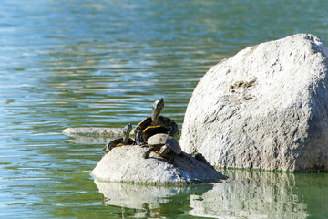 many Red Eared Slider Pond Turtle climbing on rocks in a pond and swimming. It is the most popular pet turtle in the United States and is also popular as a pet in the rest of the world.