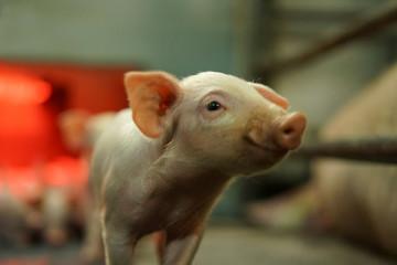 Portrait of a cute smiling piglet.