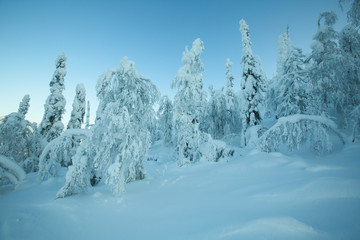 Beautiful forest in snow