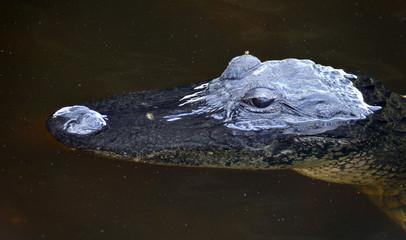 Printed roller blinds Crocodile Aliigator