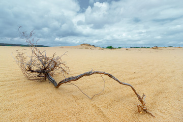The dry dead plant in the sandy desert with cloudy dramatic sky. Environment human impact concept
